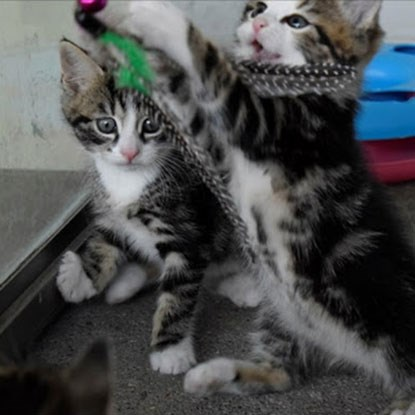 two tabby kittens playing with fishing rod toys