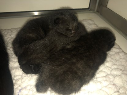 litter of black kittens asleep on fleece blanket