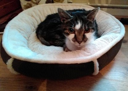 tabby and white cat in fleecy cat bed