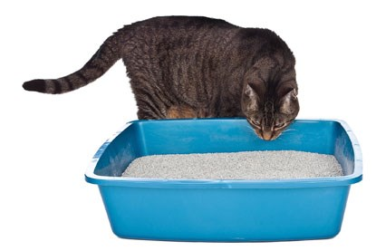 tabby cat sniffing open top litter tray