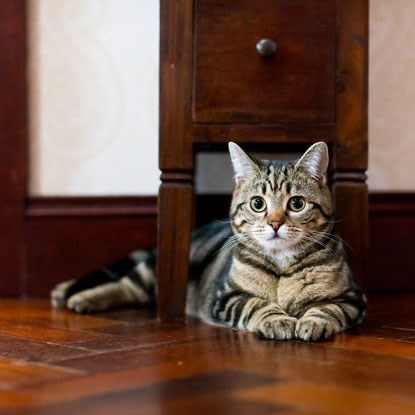 tabby cat underneath dark wood drawers
