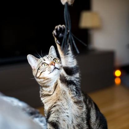 tabby cat reaching up to fishing rod toy