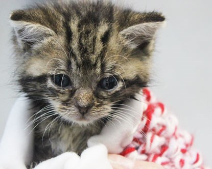tiny tabby kitten in red and white wool blanket