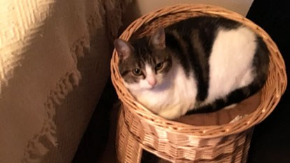 tabby and white cat in wicker cat bed