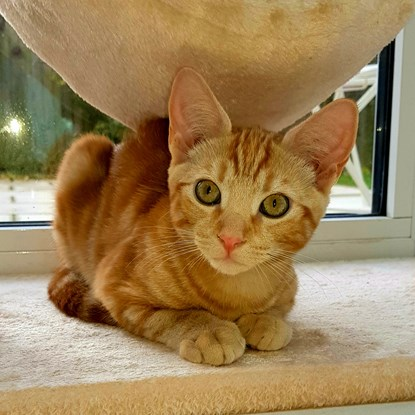 ginger tabby kitten on a climbing tower