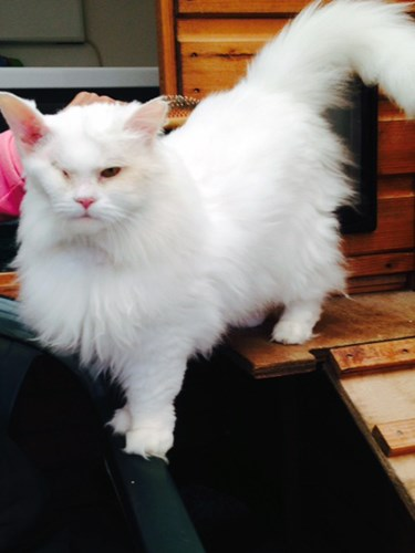 long-haired white cat with one eye