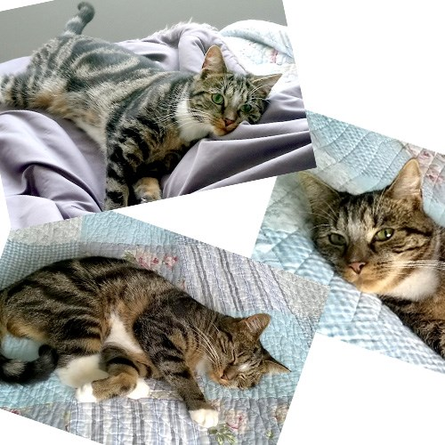 montage of three photos of a tabby cat relaxing on quilt