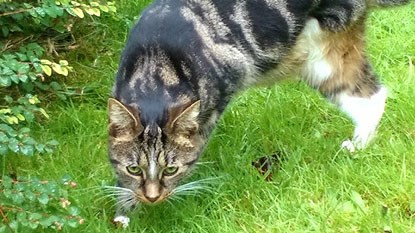 brown tabby cat walking through garden grass