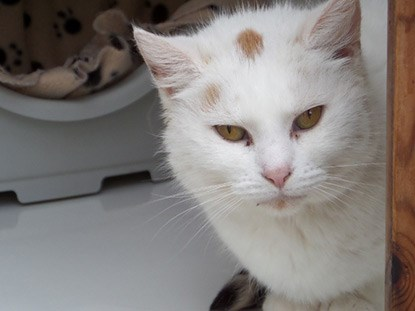 Elderly white cat in centre pen