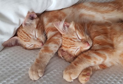 two ginger tabby cats asleep together