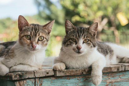 two tabby-and-white cats sitting outside