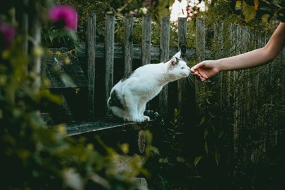 white-and-tabby cat sniffing at outstretched hand