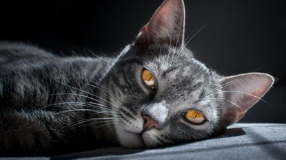 grey tabby cat with amber eyes
