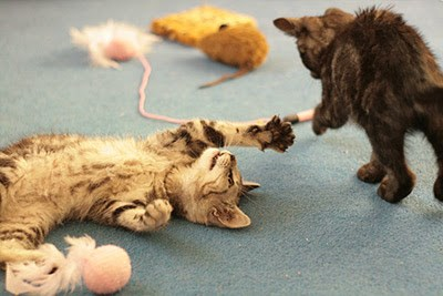 tabby and tortie kittens playing with feather wand toys