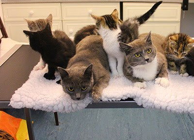 A group of grey and tabby polydactyl cats