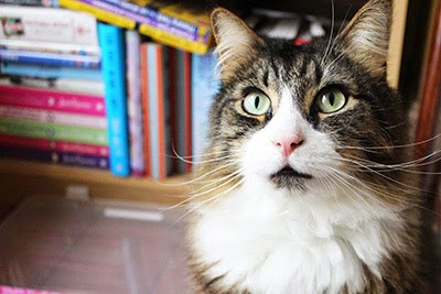 longhaired tabby cat sitting in front of bookcase