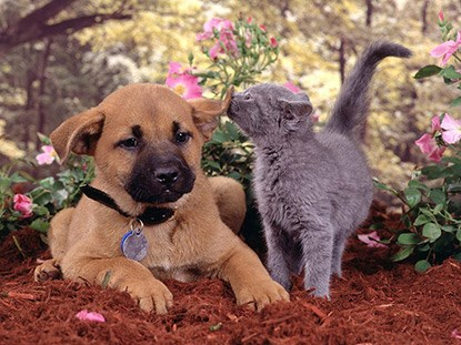 Grey kitten sniffing ear of brown puppy