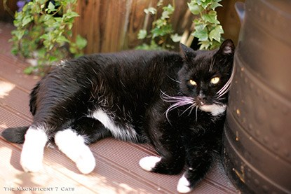 black and white cat on garden wooden decking