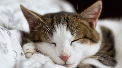tabby and white cat sleeping on white bedding