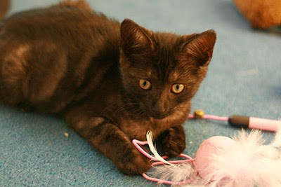 tortoiseshell kitten playing with feather cat toy