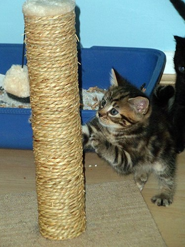 tabby kitten using scratch post