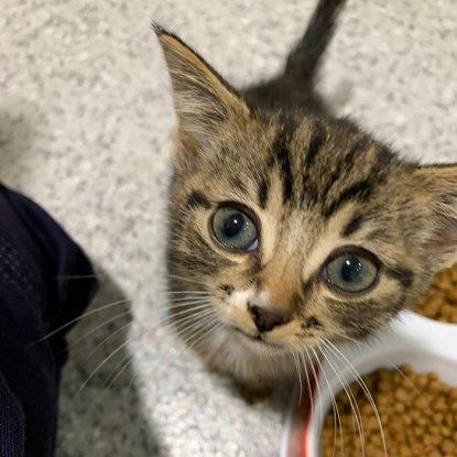 tabby kitten with blue eyes looking up at camera