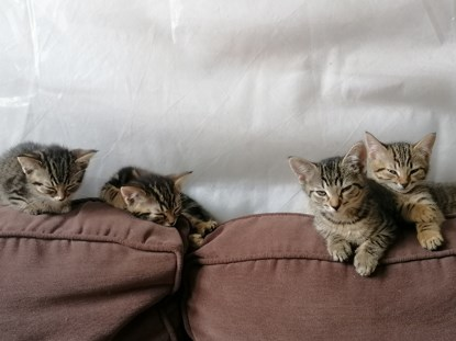 4 tabby kittens sitting on the back of a brown sofa