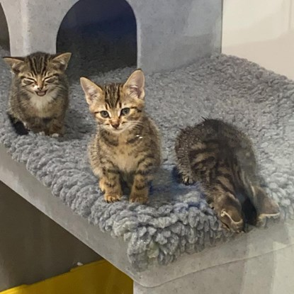 3 tabby kittens in a cat pen