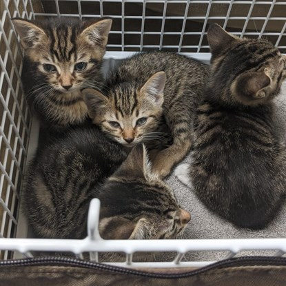 four tabby kittens in a cat basket