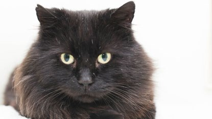 longhaired black cat looking at camera