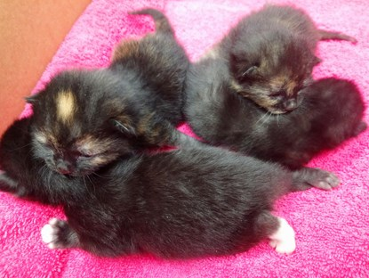 litter of black kittens on pink towel