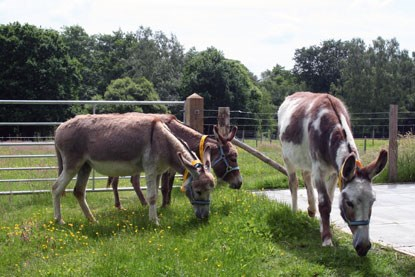 three brown and white donkeys eating grass