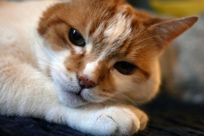 ginger and white cat with tumour in cheek