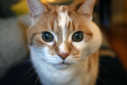white and ginger cat with large lump in cheek