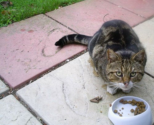 stray tabby cat eating food on patio