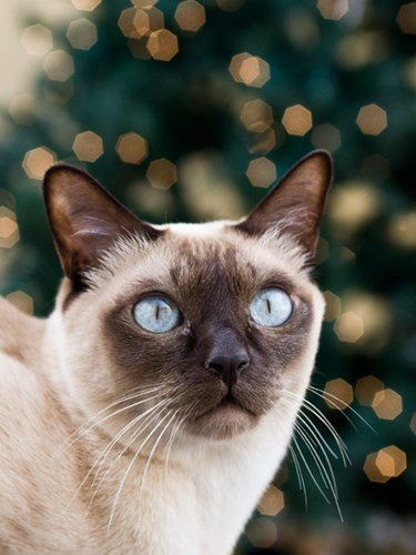 beige tonkinese cat in front of Christmas tree lights
