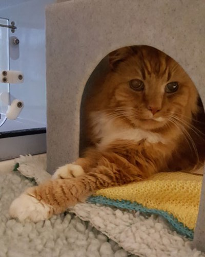 longhaired ginger cat in cat hide in adoption centre pen
