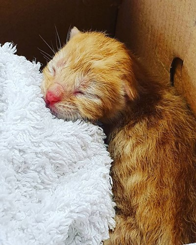 ginger newborn kitten in cardboard box