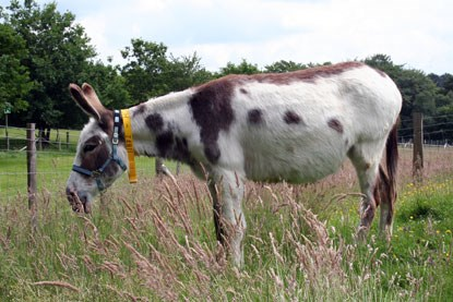 white and brown donkey eating long grass