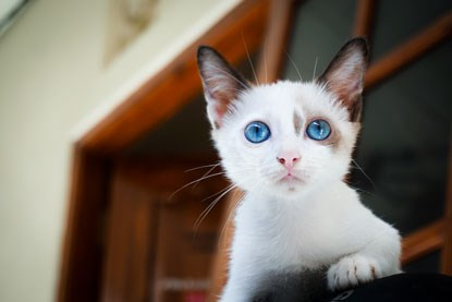 white kitten with bright blue eyes