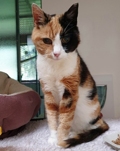 tortoiseshell and white cat in rescue centre cat pen