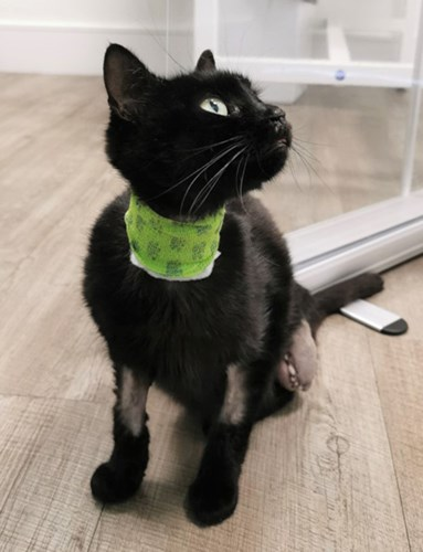 black cat with three legs wearing surgical collar