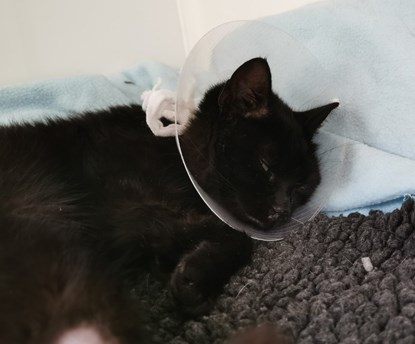 black cat wearing neck cone and lying on blanket