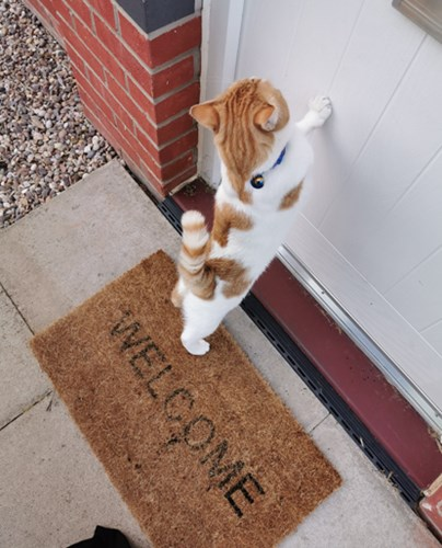 three legged ginger and white cat standing up pawing at front door on welcome mat