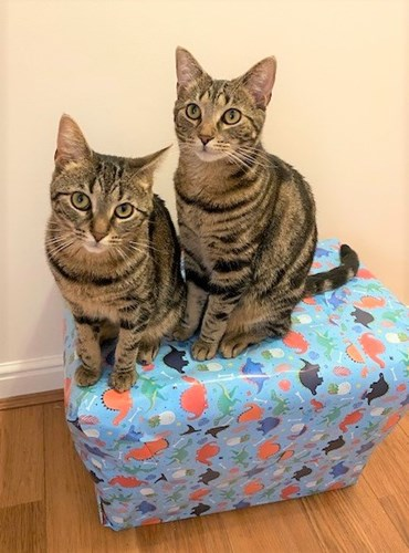 two tabby cats sitting on top of gift wrapped present