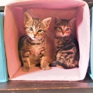 two brown tabby kittens sitting inside pink box