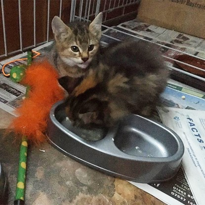 two tabby kittens eating from a grey plastic food bowl