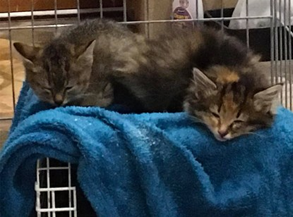 two tabby kittens asleep on a blue towel