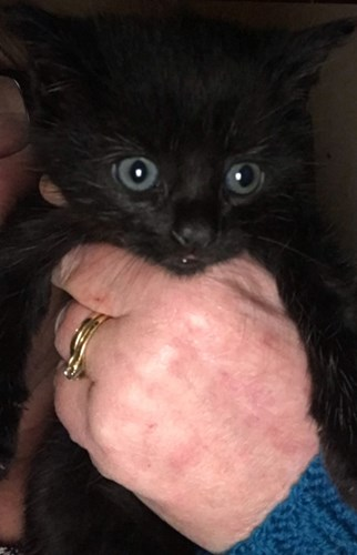human hand holding black kitten