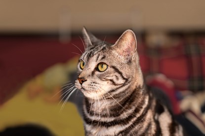 grey tabby cat looking off to the side